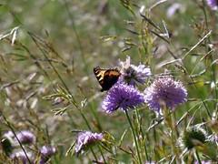 una Vanessa sulla Scabiosa Colombaria (fotomie2009) Tags: wild vanessa nature butterfly flora sorghum farfalla aglais urticae nymphalis halepense dellortica meleghetta