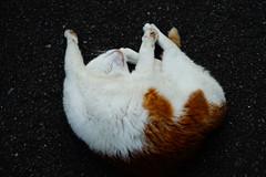 DSC03827.jpg (ntstnori) Tags: park animal cat sony  kanagawa f28 yokosuka carlzeiss  2470mm variosonnar  kannonzakipark variosonnart2470mmf28zassm 99 slta99v kannonzakikanagawa   kamoiyokosuka