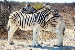 Etosha National Park, Oshikoto. (Cale McMillen) Tags: africa travel mist slr fog canon tia flamingoes photography eos desert ngc atlantic seals namibia oryx etosha sossusvlei benguela jackals capecross skeletoncoast khomas 650d erongo