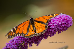 """Flying Flowers3"" (wmhodge) Tags: blue orange yellow gardens butterfly garden butterflies lilac wendyhodge"