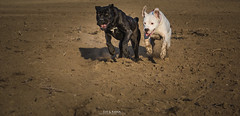 (Katarina Drezga) Tags: dog dogs animals perros dogphotography canecorso dogoargentino outdoorphotography nikond3100 nikkor55300mm4556gvr