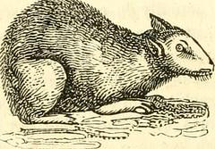 Anglų lietuvių žodynas. Žodis genus cavia reiškia genties cavia lietuviškai.