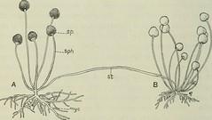 Anglų lietuvių žodynas. Žodis rhizopus stolonifer reiškia <li>rhizopus stolonifer</li> lietuviškai.