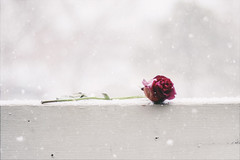 Winter's Caress (miss.interpretations) Tags: rose petals flower stem leaves wilted valentinesday winter cold chill frosted snow snowflakes old oldage young innocence rail balcony patio outdoors colorado canonm3 castlerock white highkey minimal