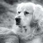 Golden Retriever Sammy thumbnail