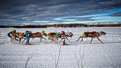 Course de Rennes (Littlepois Photographie) Tags: nikon d4 nikon2470f28 lr4 colorefexpro renne reindeer course race finlande finland laponie neige snow