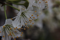 Blossom (charifakoury) Tags: beauty nature blossom closeup day flower fragility freshness green growth macro photography outdoors petal plant springtime tree white color yellow nopeople flowers flo