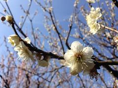 Shinjuku Gyoen (vingt_deux) Tags: tokyo shinjukugyoen plumblossoms spring japan