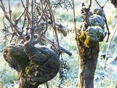 vigne hiver