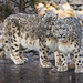 Sneps on ice