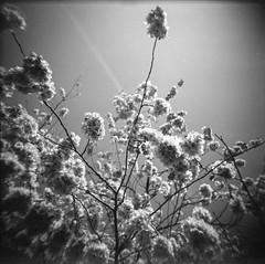 Cherry Blossom (Naftade) Tags: kodak vericolor160 holga 120 mediumformat hc110 scanned epsonperfection v800photo digitaliza vignette black white tree flower spring schwarzweis analog film toycamera