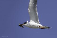 Forster's Tern (halladaybill) Tags: bolsachicaecologicalreserve forsterstern flight orangecounty bird animal
