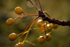 ant on autumn berries (gnarlydog) Tags: berries australia autumn adaptedlens manualfocus closeup pentacon50mmf18 bokeh softlight softfocus ant vintagelens sunset insect nature speckledhighlights hexagon warmlight tree