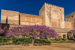 Magenta (jmbillings) Tags: alhambra colour courtyard fortress granda magenta nature pretty purple travel tree wall