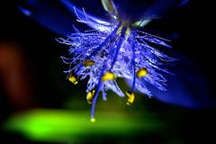 What lies between the petals (donjuanmon) Tags: thespaceinbetween macro macromondays hmm theme plant closeup spiderwort donjuanmon nikon flower