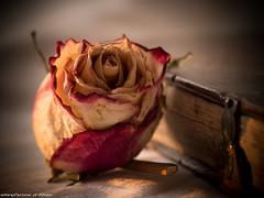Macro Monday - old book and old rose (somareja*pictures) Tags: getrockneterose blume oldstyle olympusdigital olympusem1o macromonday macroaufnahme oldbook rose flickr markusreber somarejapictures