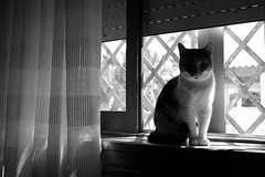 always in my window (pepe amestoy) Tags: blackandwhite indoor cats elcampello spain fujifilm xe1 voigtländer color skopar 421 vm leica m mount