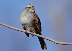 White-throated Sparrow (JDA-Wildlife) Tags: birds nikon nikond7100 tamronsp150600mmf563divc jdawildlife portrait closeup johnny sparrows sparrowwhitethroated whitethroatedsparrow centralparknycny whatbirdbestofday gorgeous