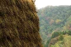 bukwheat soba (Andi [アンデイ]) Tags: kurumidani japan kyoto kyotango mountain village rural ruraljapan nature people forest tea greentea macha food photography traditional farming buchweizen soba bukwheat