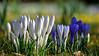 Frühlingserwachen (karinrogmann) Tags: frühling spring primavera krokus croco crocus