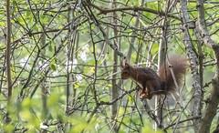 Ecureuil roux (MyrageAngi) Tags: écureuil