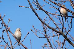 Domaine des oiseaux (Mazères/Ariège) (PierreG_09) Tags: ariège pyrénées pirineos ddo domainedesoiseaux faune oiseau mazères linottemélodieuse cardueliscannabina commonlinnet passériformes fringillidés