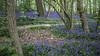 Tiegemberg_4 (hugomaes1) Tags: hyacinth hyacinthus hyacint tiegembos tiegemberg flowers
