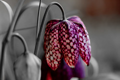 Schachbrettblume sw_ (Kerstin_Butenbremer) Tags: colorkeying colourkeying flowers
