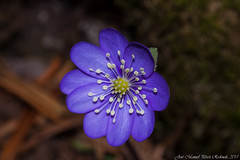 Herba fetgera (Thanks for +200.000 views) Tags: anemone hepatica nobilis fetgera viola anémone liverwort kidneywort pennywort flor flower plant