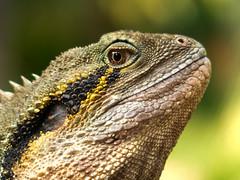 The Dragon's Gaze. (Almost Neutral Density) Tags: australianwaterdragon lizard basking edmundkhoophotography edkhoo brisbane botanicgarden reptile