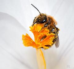 pollen face (marianna_a.) Tags: p1180613 bee pollen crocus stamen flower spring fresh marianna armata macro insect petal purple gold explore
