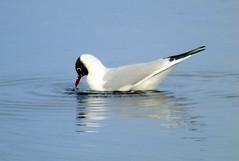 Black headed gull (stuartcroy) Tags: orkney island blackheadedgull seagull sea scotland sony reflection ripples