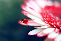 Gerbera 🐞 💧 (ElenAndreeva) Tags: flowers red beauty spring fresh sun light lights summer bokeh cute white colors insect canon garden magic top close up colorful fantasy sweet bug best amazing nature photograph macro flower ledybug tones today macrophotography marvelous buds focus floral color composition creative art artwork reflection soft week