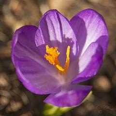 I feel pretty (atranswe) Tags: dsc3487634 sweden sverige västernorrland ångermanland väja n62°5818e17°42 trädgård garden krokus crocus purple lila nature flower blomma out outdoor macro atranswe