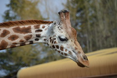 Rothschild's Giraffe (Giraffa camelopardalis rothschildi) (Seventh Heaven Photography) Tags: giraffe animal giraffa camelopardalis rothschildi mammal tula female chester zoo cheshire rothschilds nikond3200 portrait closeup ossicones giraffidae