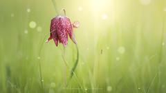 Trésor du marais (Bertrand Thiéfaine) Tags: marais maraisdegrée fritillaire sauterelle prairie herbe vert lumière bokeh macro printemps flore faune