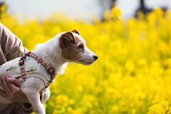 Touch of Yellow (moaan) Tags: kasai hyogo japan jp dog jackrussellterrier kinoko fieldofflowers rapeblossoms tint yellow spring dogportrait bokeh dof utata 2017 canoneos5dsr ef70200mmf28lisiiusm hyogoprefecturalflowercenter