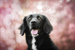Spring colors (Kedves Tamara Photography) Tags: dog puppy pet animal canon 85mm mix mixdog border collie black smile spring cherry blossom tree pink blur lights colors amazing beautiful happiness