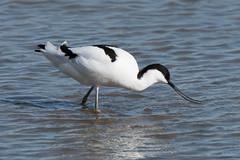 Avocet (Shane Jones) Tags: avocet bird wader wildlife nature nikon d500 200400vr tc14eii
