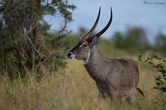 Waterbuck (m) (leendert3) Tags: waterbuck wildlife nature krugernationalpark southafrica mammal leonmolenaar ngc sunrays5 npc