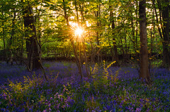 Bluebell sunset (SimonLea2012) Tags: countryside england light disk landscape uk lilac purple carpet trees woods woodland sunset bluebells
