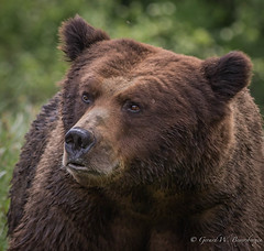 Grizzly Bear (Turk Images) Tags: britishcolumbia coastalrainforest greatrainforest grizzlybear ktzimadeengrizzlybearsanctuary khutzeymateengrizzlybearreserve maritimecoast ursusarctoshorribilis breedingseason bears mammals ursidae