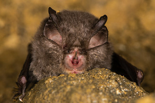 Lesser horseshoe bat (Rhinolophus hipposideros) detail of face