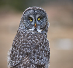 Great Grey Owl_2 (Archie Richardson) Tags: greatgreyowl alberta