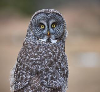 Great Grey Owl_2