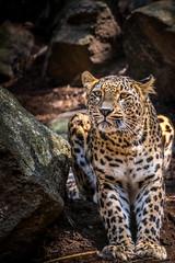 Feed me, please (Christopher Anderzon) Tags: animal leopard predator mammal wildlife persianleopard nordensark fujinon fujifilm xf55200mm zoom fotoresor zoomfotoresor tomsvensson hunnebostrand wildlifephotography inexplore explore