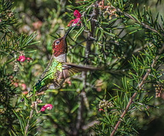 Allen's Hummingbird foraging in the wild. (FotoGrazio) Tags: allenshummingbird california foraging sandiego selasphorussasin waynegrazio waynesgrazio animal composition fotograzio hummingbird mothernature nature nectareater smallbird tinybird wildlife wildlifephotography