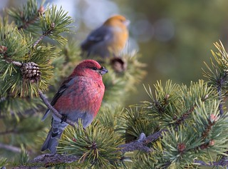 Pine Grosbeak, female behind