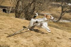 Sara. Spring works. 12/52 (Tõnno Paju) Tags: sara dog animal jack russel terrier jackrussel 52weeksfordogs