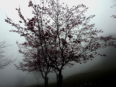 DSCN1307 Cherry Blossom in Fog (tsuping.liu) Tags: outdoor organicpatttern landscape lighting tree trekking texture cloud colorofsky bw nature natureselegantshots naturesfinest nationalpark flowers feeling fog mood scenicimage